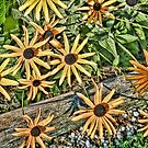 Black Eyed Susan by MDossat