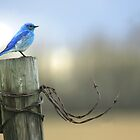 Bluebird on wood and wire by Normcar