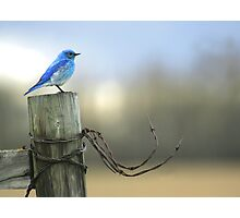 Bluebird on wood and wire Photographic Print