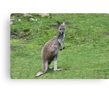 Wallaroo Canvas Print