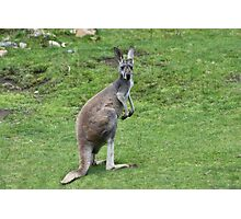 Wallaroo Photographic Print