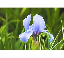 Pale Purple Iris - Impressions Of Spring Photographic Print