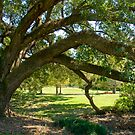 Louisiana Oak with Graceful Arch by Bonnie T.  Barry