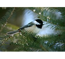 Chickadee Watercolor Photographic Print