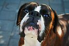 Arwen -Boxer Dogs Series- by Evita