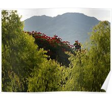 african tulip tree -  Poster