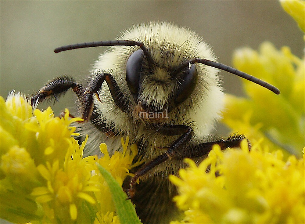 Bumble Bee on Goldenrod by main1