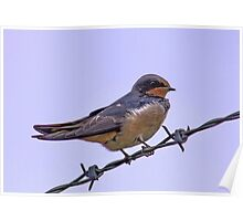 Swallow on Wire Poster