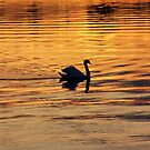 Swan on golden pond by LadyFi