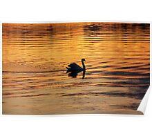 Swan on golden pond Poster