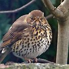 My feet are cold.......British song thrush by Rivendell7