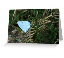 A Holly Blue Greeting Card