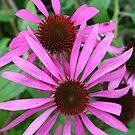 Echinasea by mousesuzy