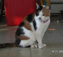 Pringles The Calico Cat of Maryland by Debra  Tankus