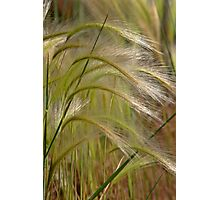 Indiangrass Swaying Softly In The Wind Photographic Print