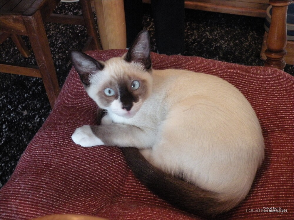 Meet Mick (Purebred Snowshoe) by rocamiadesign