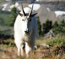 Mountain Goat, Glacier NP by artsphotoshop