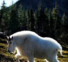 Mountain Goat Profile, Glacier NP by artsphotoshop