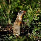 Glacier Squirrel 2 by artsphotoshop