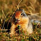 Glacier Squirrel 4 by artsphotoshop