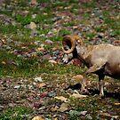 Big Horn Sheep 1, Glacier NP by artsphotoshop