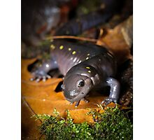Spotted Salamander (walking on leaves) Photographic Print