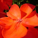Geranium in the Sunshine by Diane Petker