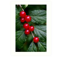 Red Honeysuckle Berries Art Print