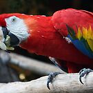 Colorful Parrot by CarolM