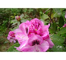 Rhododendron In Bloom Photographic Print