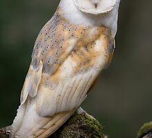 Barn Owl by Captivelight