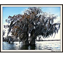 Double Cypress Photographic Print