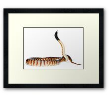 Black-headed Python (Aspidites melanocephalus) Framed Print