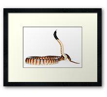 Black-headed Python (Aspidites melanocephalus) Framed Print