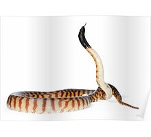 Black-headed Python (Aspidites melanocephalus) Poster
