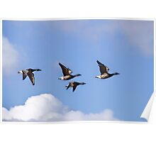 Brent Geese In Flight Poster