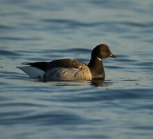 Light-bellied Brent Goose by Jon Lees