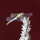 Dragonfly on Lavendar by Pamela Jayne Smith
