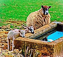 Thirsty Lambs   by ScenicViewPics