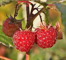 Framboises - Raspberries by Fran0723