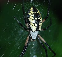 Black and Yellow Argiope by Samantha Anderson