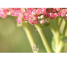 Ice Plant and the Water Drops Photographic Print