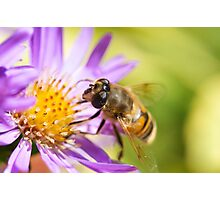 Drone Fly on Aster Photographic Print