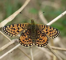 Pearl-bordered Fritillary by winterhare
