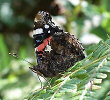 Red Admiral  by winterhare