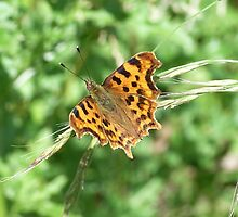 Comma Butterfly by winterhare