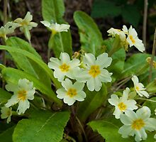 English Primrose by DonDavisUK