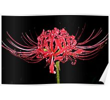 Spider Lily And Raindrops Poster