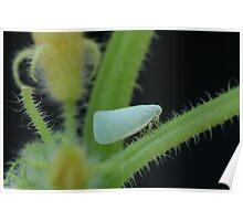Planthopper Climbing Up a Cucumber Stalk  Poster