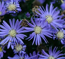 Vibrant Purple Aster Flowers, Different Stages by Bonnie Boden